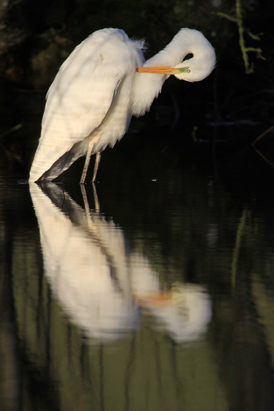 Great-W-Egret-18b