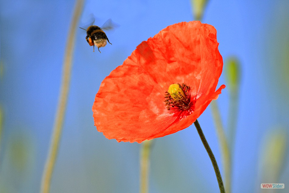 Poppy & Bumble Bee