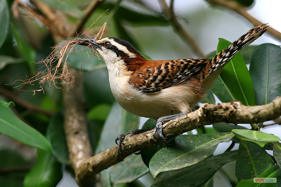 Rufous Naped Wren