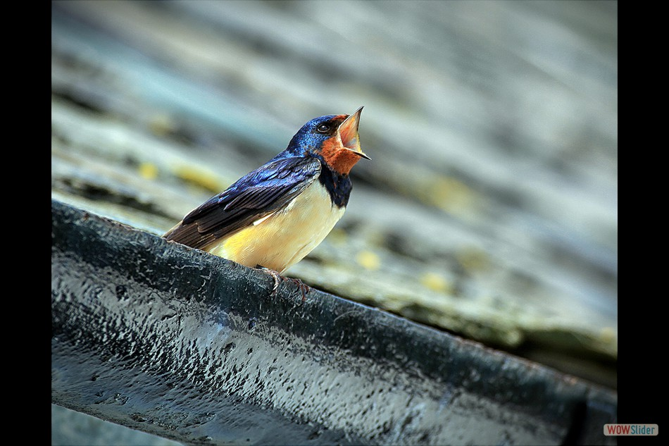 Swallow 1